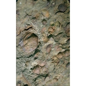 Product - 11. Silurian Fossils of the Pentland Hills, Scotland Image