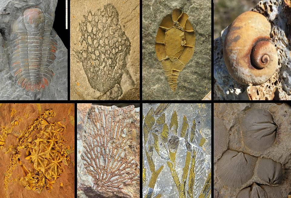 A selection of Palaeozoic echinoderms from outcrops that will be visited during the field trip.