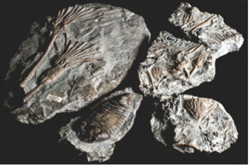 Wenlock trilobites and crinoids from the Holcroft Collection