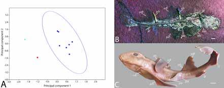 PCA of distance measurements taken from extinct and extant heterodontids