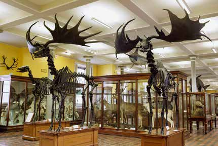 Giant Irish deer skeletons