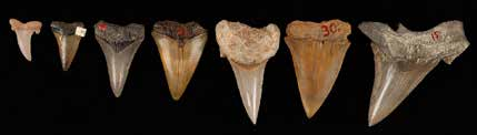 Fossilised shark teeth from the collections